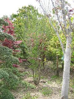 カツラ (植物)の画像 p1_4